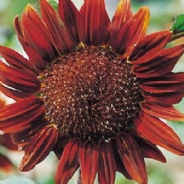 Sunflower Chocolate - 30 seeds / 60 seeds